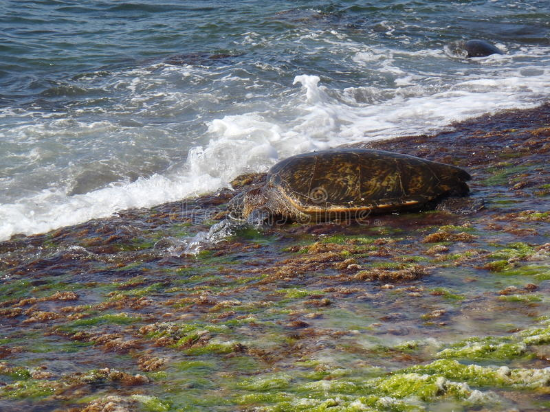 Hawaiian Turtle stock photo