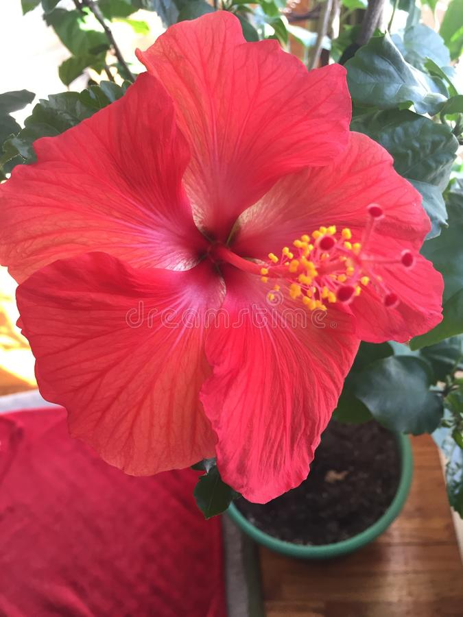 Hawaiische Blume lizenzfreie stockfotografie