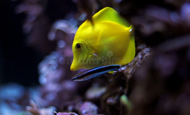 Hawaiische Fische Gelb-Tang Zebrasoma-flavescens lizenzfreies stockfoto