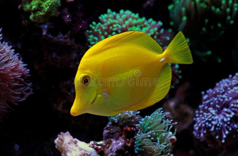 Hawaiische Fische Gelb Tang - Zebrasoma-flavescens stockfotografie