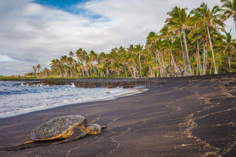 Hawaiische grüne Meeresschildkröte auf schwarzem Sandstrand lizenzfreie stockbilder