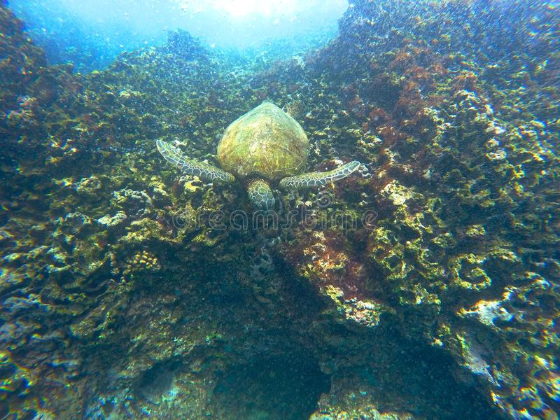 Hawaiische Meeresschildkröte, die unter Wasser schwimmt stockbilder