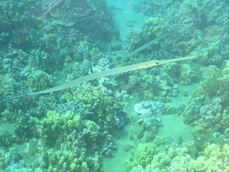 Hawaiische Nadel-Fische stockfoto