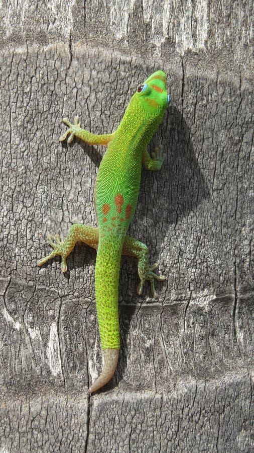 Hawaiischer Gecko stockbilder