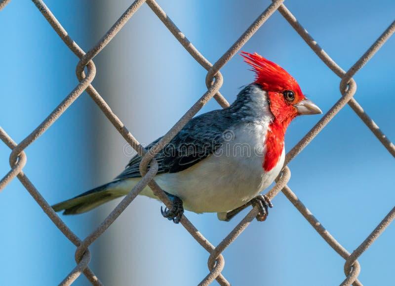 Hawaiischer Kardinal auf einem Endanschlag stockbild