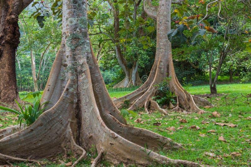 Hawaiischer Regen-Wald im Koolaus stockfotos