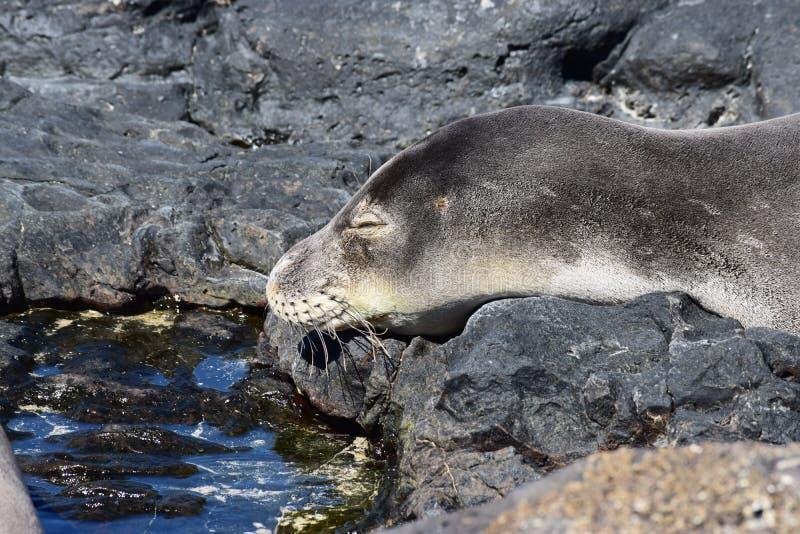 Hawaiisches Mönchs-Robbenschlafen lizenzfreie stockfotografie