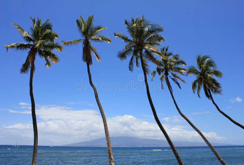 hawajczyków drzewka palmowe fotografia royalty free