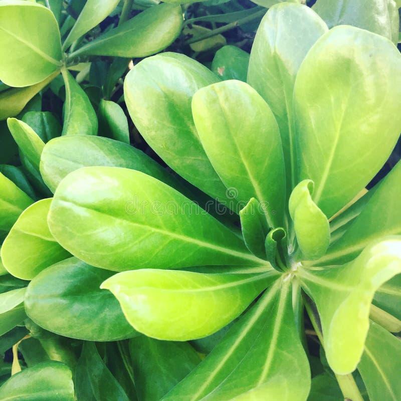 Hawajczyk zielenie zdjęcie stock