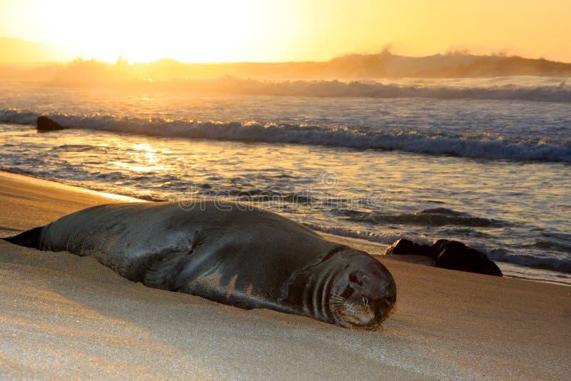 hawajczyka michaelita odpoczynkowa foka zdjęcia stock