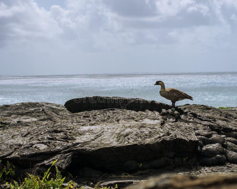 Hawajczyka NeNe ptak, lawa i ocean, obraz stock