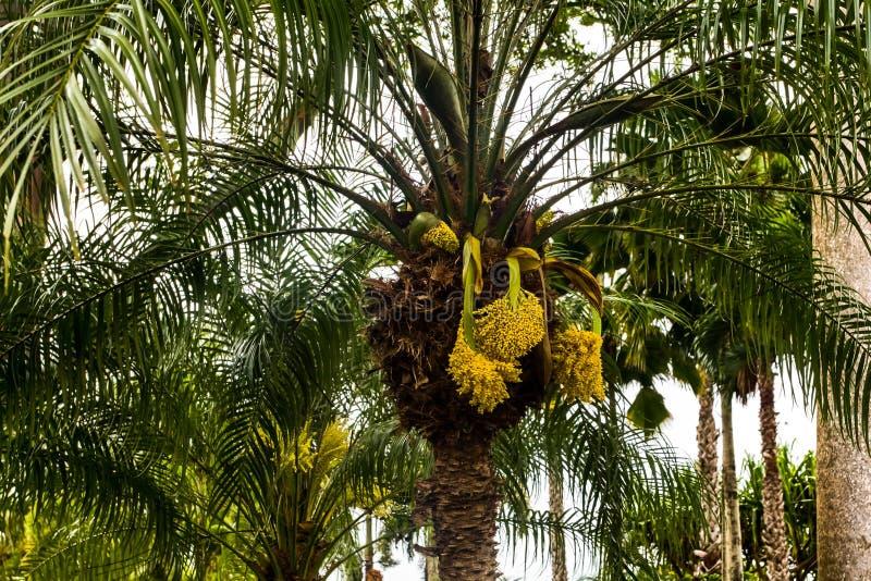 Hawajski drzewko palmowe zdjęcie royalty free