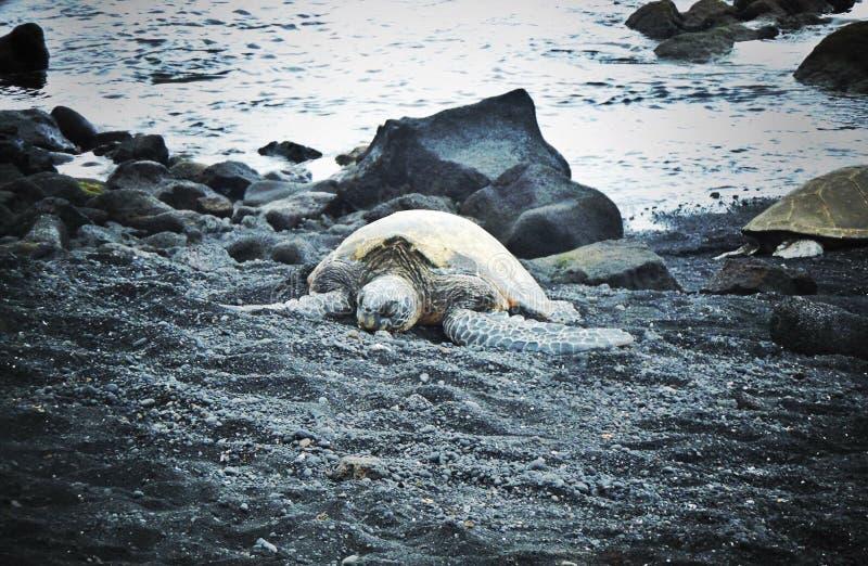 Hawajski Honu zdjęcie royalty free