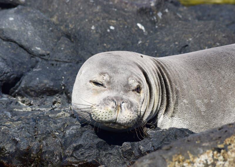 Hawajski michaelita foki mrugnięcie zdjęcie stock