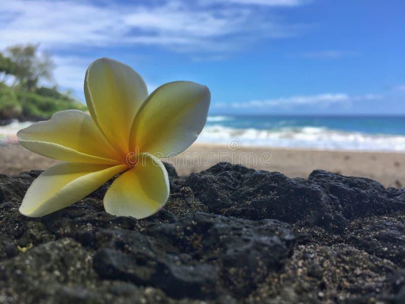 Hawajski plumeria kwiat na plaży zdjęcie stock