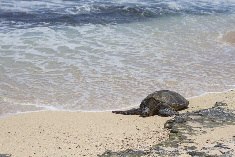 Hawajski Zielony Denny żółw obraz stock