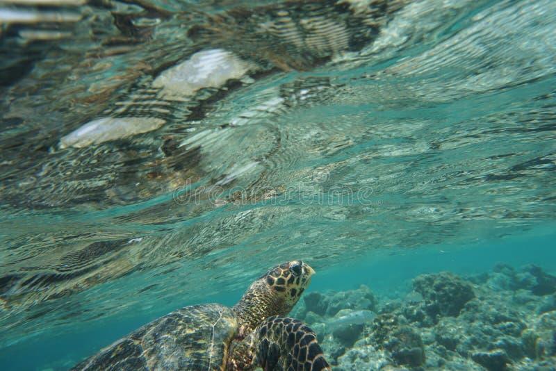 Hawcksbill sea turtle Eretmochelys imbricata royalty free stock photography
