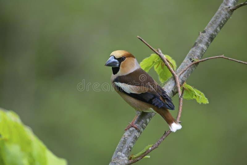 Hawfinch, αρσενικό στοκ εικόνες