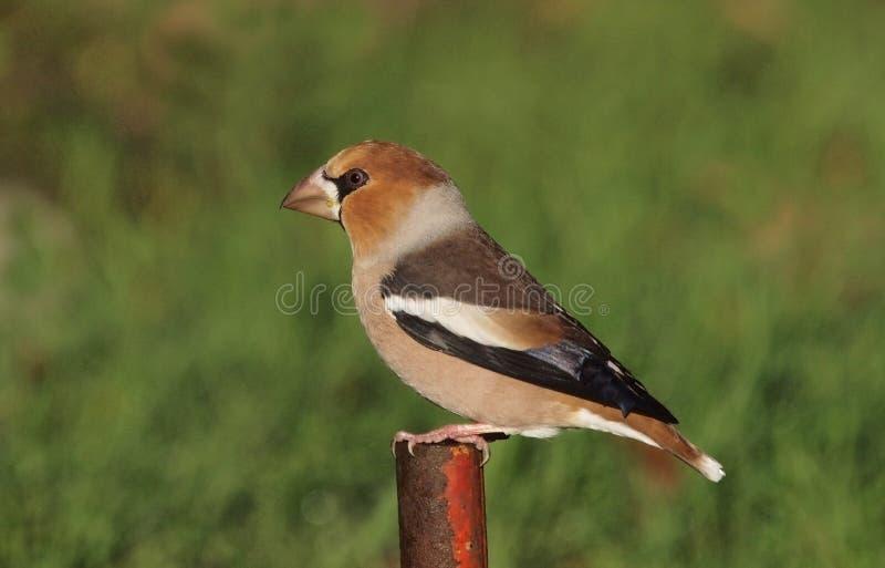 hawfinch стоковая фотография rf