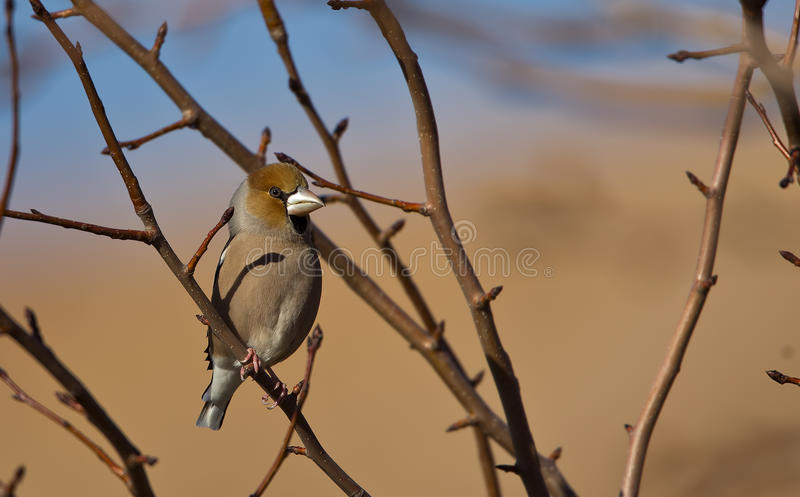 Download Hawfinch stock photo. Image of bird, trunk, wildlife - 28997276