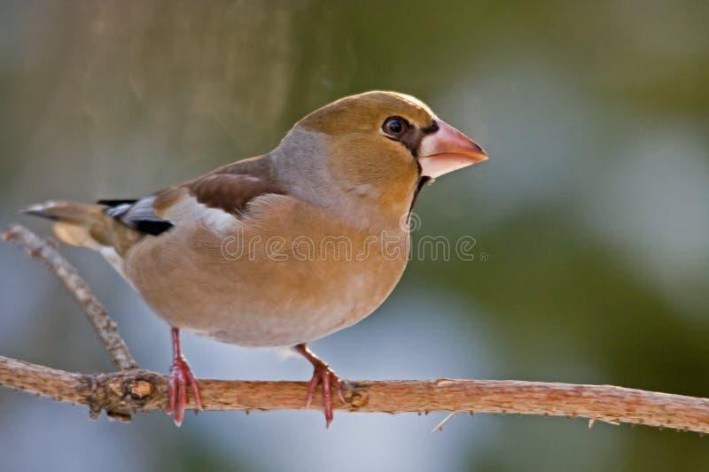 Hawfinch stock fotografie