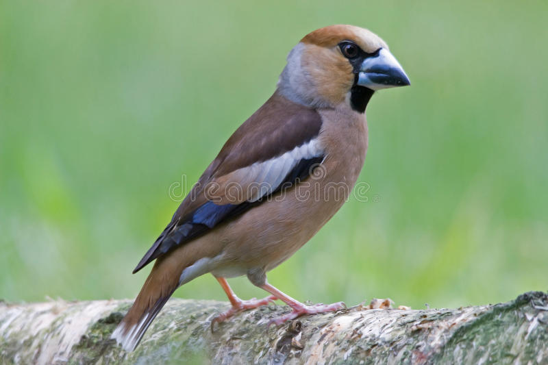 The Hawfinch stock photography