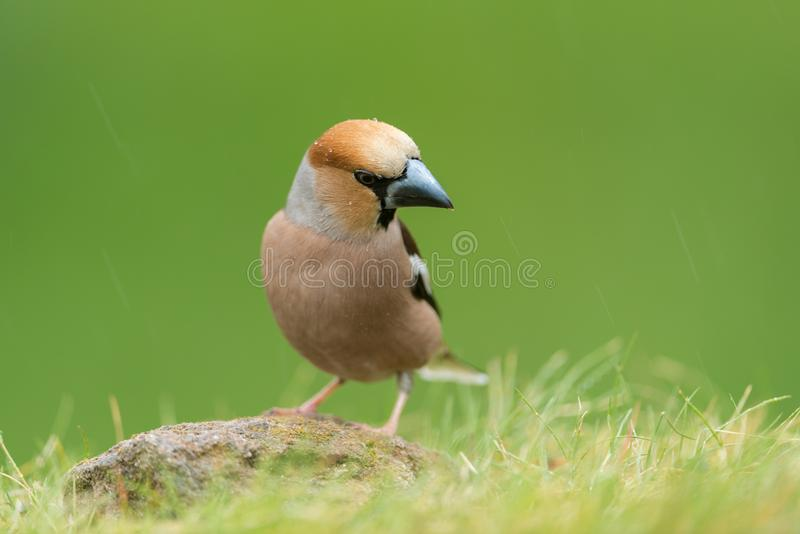 Hawfinch stock afbeelding