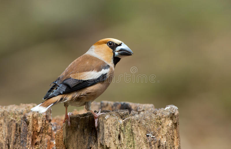 Hawfinch (Coccothraustes Coccothraustes) stockfoto