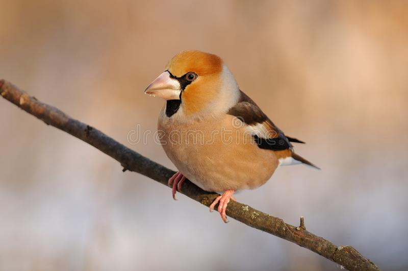 The hawfinch Coccothraustes coccothraustes in the rays of the rising sun. The hawfinch Coccothraustes coccothraustes in the rays of the rising sun sitting on stock photos