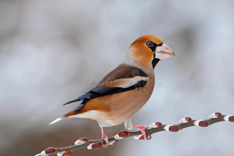 Hawfinch (coccothraustes del Coccothraustes) immagini stock