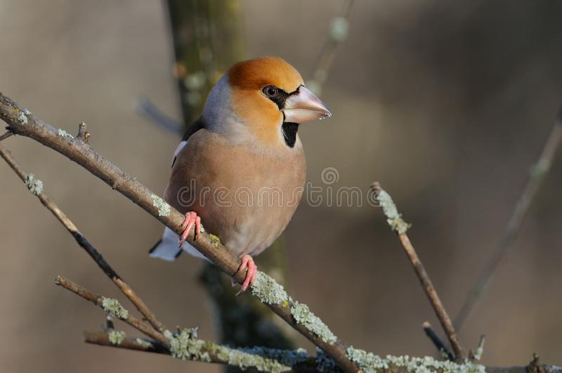 The hawfinch in the rays of the rising sun sitting on the branch with green-grey background. The hawfinch Coccothraustes coccothraustes in the rays of the royalty free stock photo