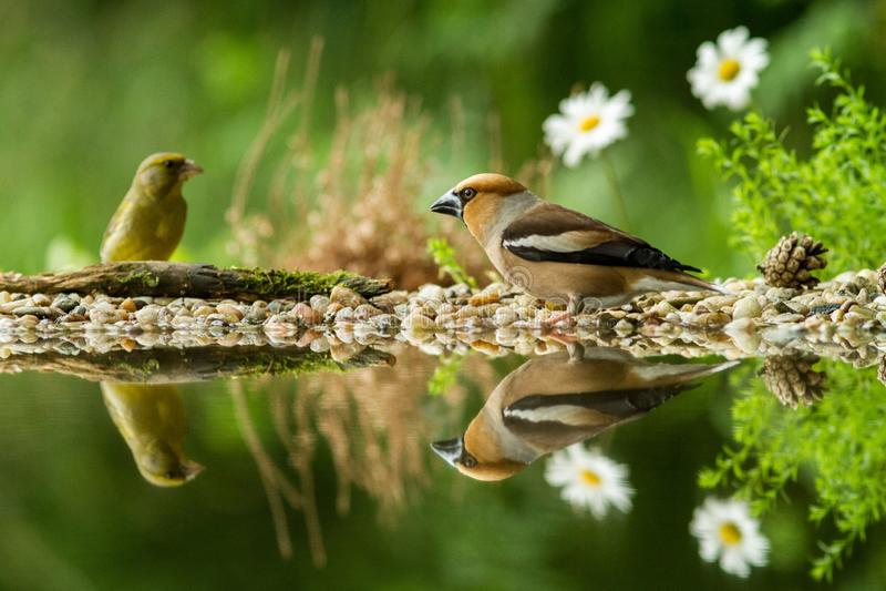 Hawfinch en groene vinkzitting op korstmoskust van watervijver in bos met mooie bokeh en bloemen op achtergrond, Duitsland stock afbeelding