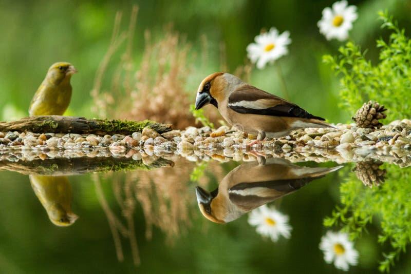 Hawfinch en groene vinkzitting op korstmoskust van watervijver in bos met mooie bokeh en bloemen op achtergrond, Duitsland stock fotografie