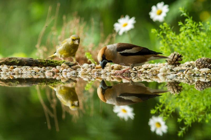 Hawfinch en groene vinkzitting op korstmoskust van watervijver in bos met mooie bokeh en bloemen op achtergrond, Duitsland royalty-vrije stock afbeelding