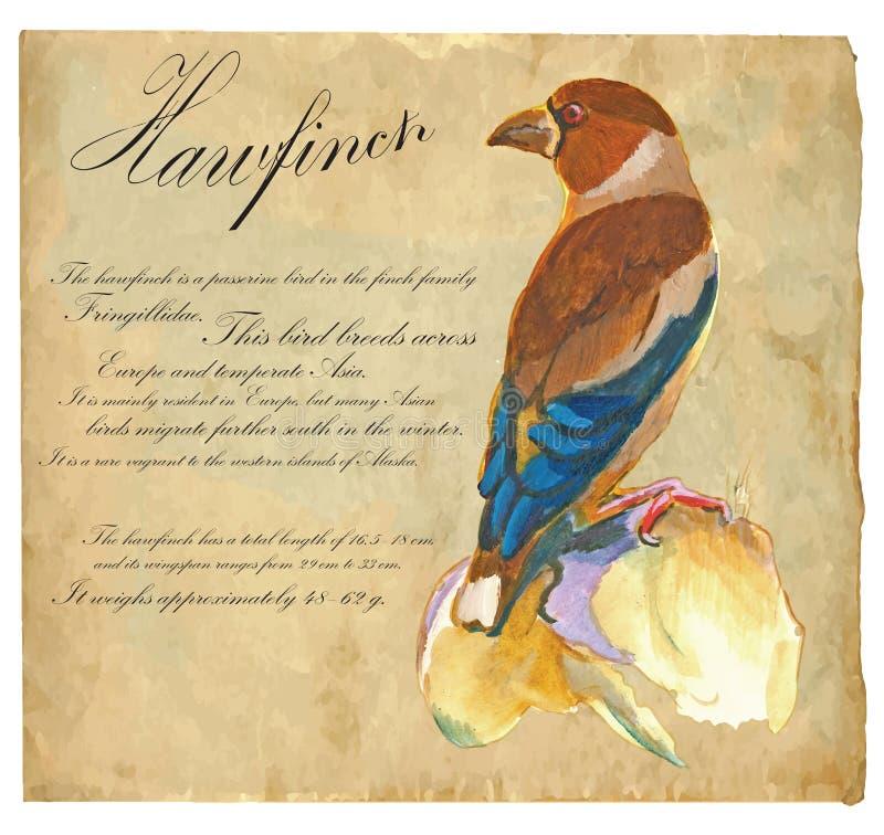 Hawfinch - en hand målad vektor royaltyfri illustrationer