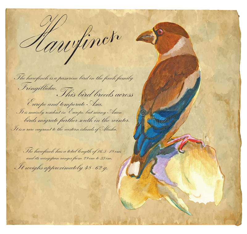 Hawfinch - An hand painted vector royalty free illustration