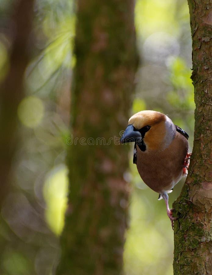 Hawfinch, Mann auf dem Baum, vertikal lizenzfreie stockbilder