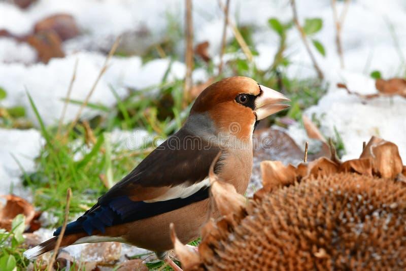 Hawfinch no inverno fotografia de stock