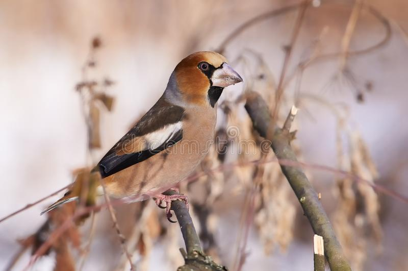 Hawfinch sits on a branch of willow in the midst of bushes and g royalty free stock photos