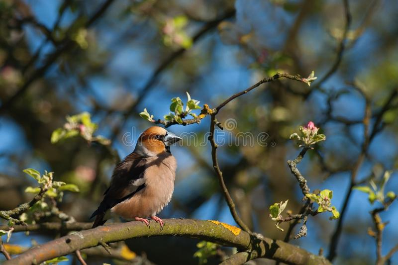 Hawfinch. Sitting on a flowering tree at sunset stock images