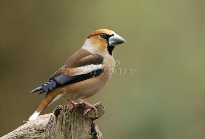 Hawfinches royalty-vrije stock afbeelding
