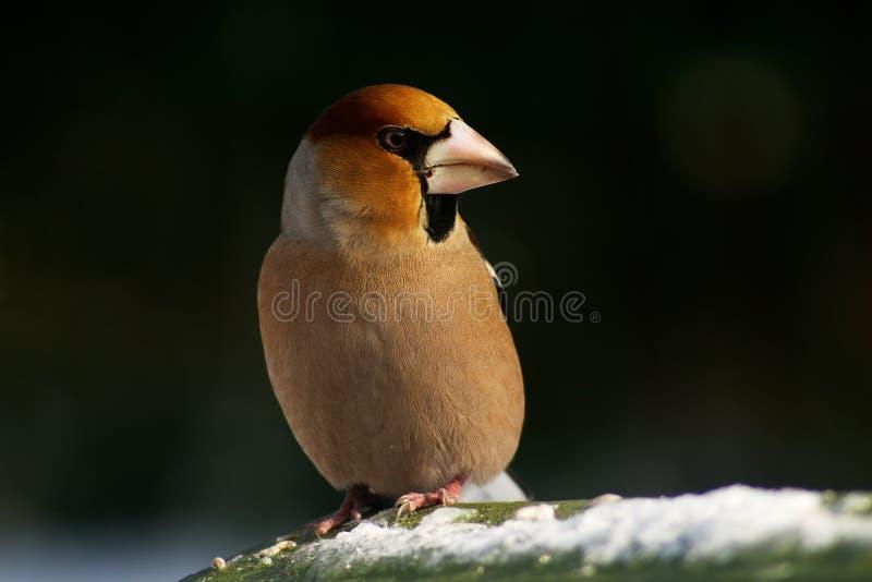 Hawfinchvogel stockfotografie