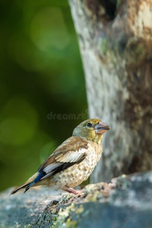 Hawfinchzitting op houten boomstam in bos met bokehachtergrond en verzadigde kleuren, Hongarije, zangvogel in gewoonte van het aa stock fotografie