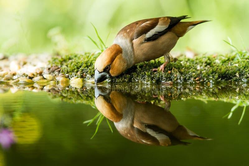 Hawfinchzitting op korstmoskust van watervijver in bos met mooie bokeh en bloemen op achtergrond, Duitsland, weerspiegelde vogel royalty-vrije stock afbeeldingen