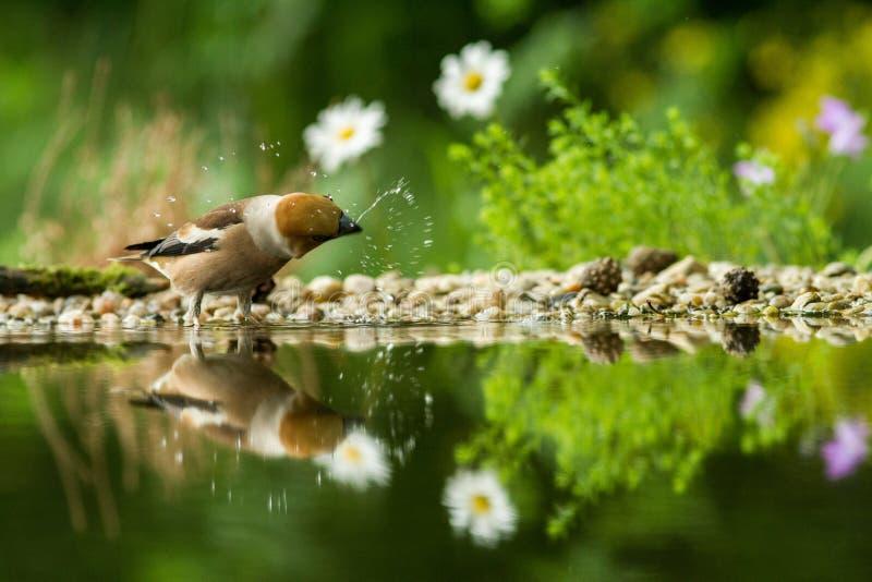 Hawfinchzitting op korstmoskust van watervijver in bos met mooie bokeh en bloemen op achtergrond, Duitsland, weerspiegelde vogel royalty-vrije stock foto