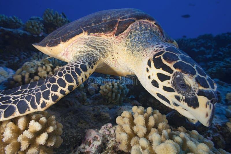 HAWHBILL DENNEGO żółwia, eretmochelys imbricata/ fotografia stock
