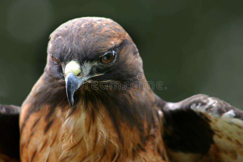 Download Hawk -1 stock photo. Image of hawks, prey, birds, tail, animal - 32962
