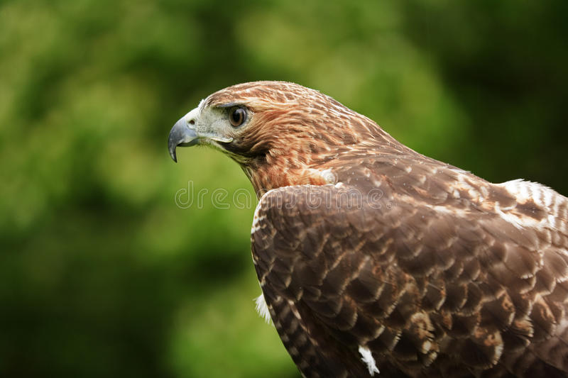 Hawk. Close up of a Red Tailed Hawk Buteo jamaicensis royalty free stock image