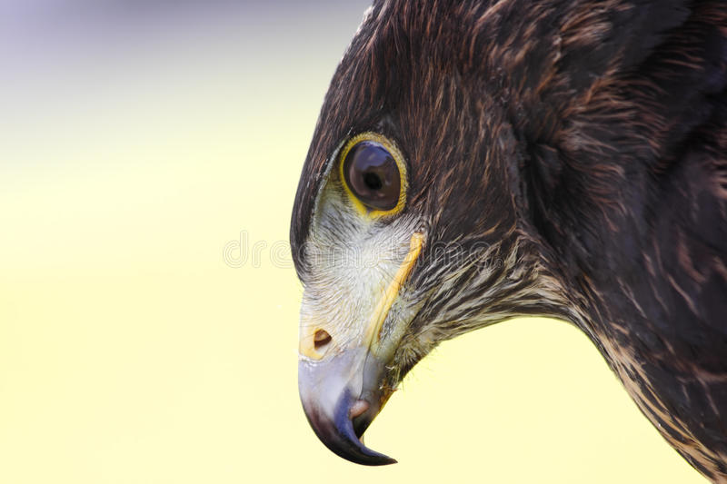 Hawk royalty free stock image