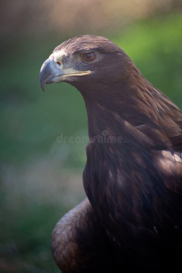 Free Hawk Stock Photography - 19922222